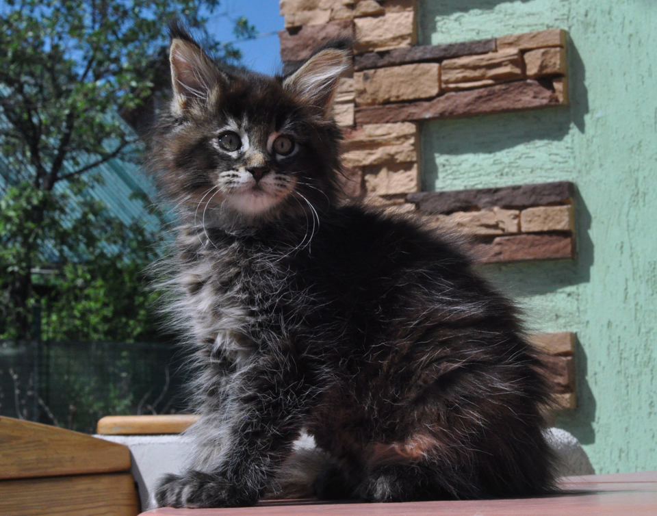 Caramel's Kimm Kardashian, female, color f25, maine coon, tortie ticked girl.