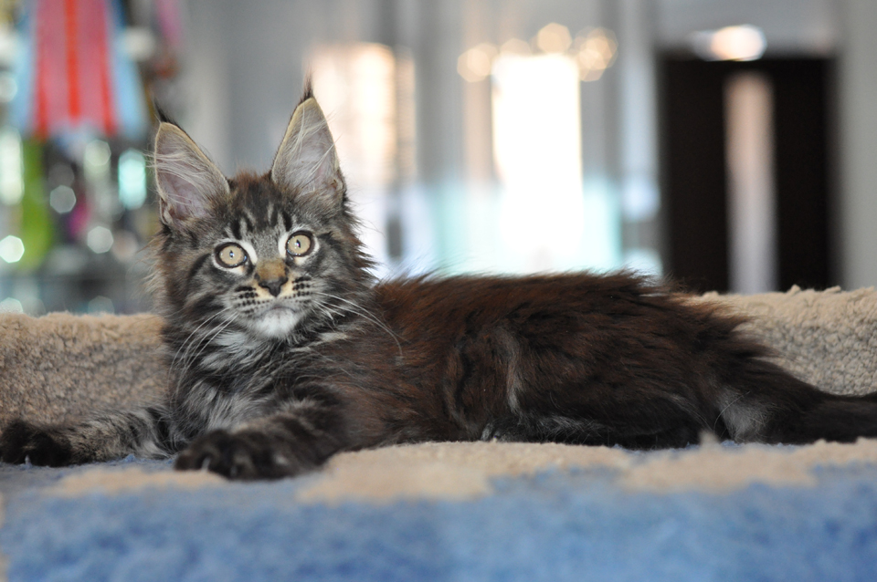 Caramel's Uran, kitten Maine Coon, color black marble