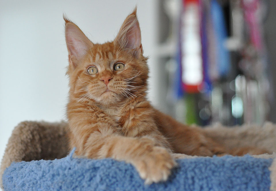 Caramel's Leopold, red solid, sweet boy Maine Coon