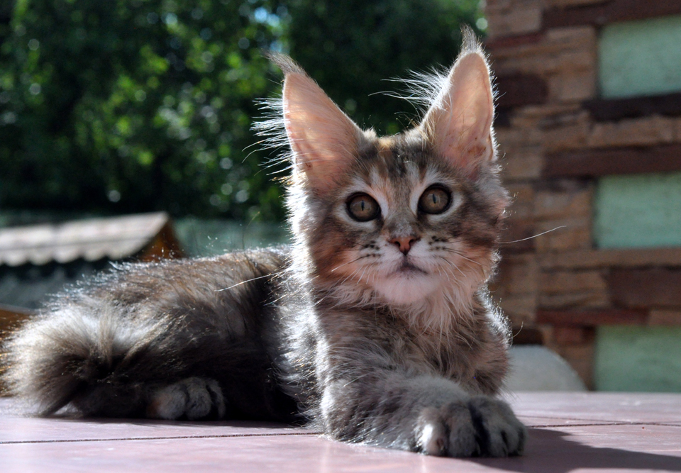 Caramel's Kalinka, female, maine coon, color f25
