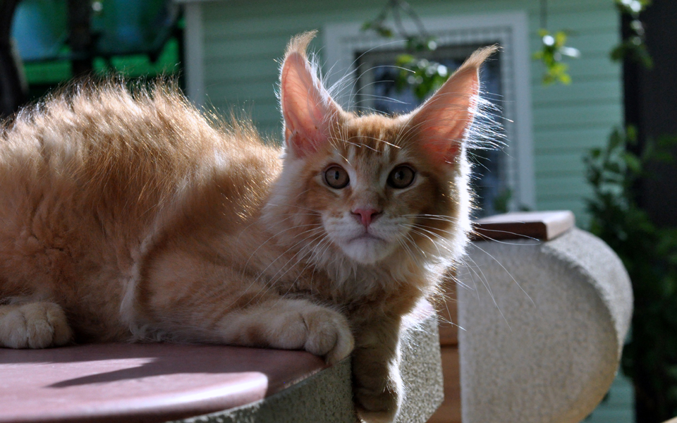 Caramel's Kotofey, red ticked kitten Maine Coon,
