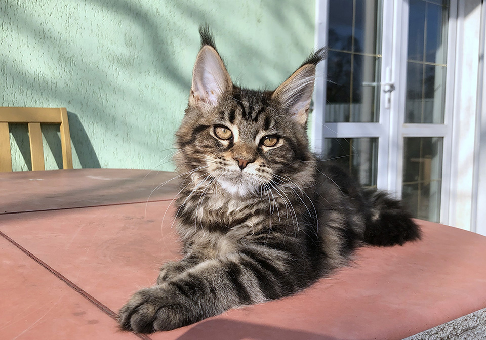 Maine Coon female, color black tabby marble