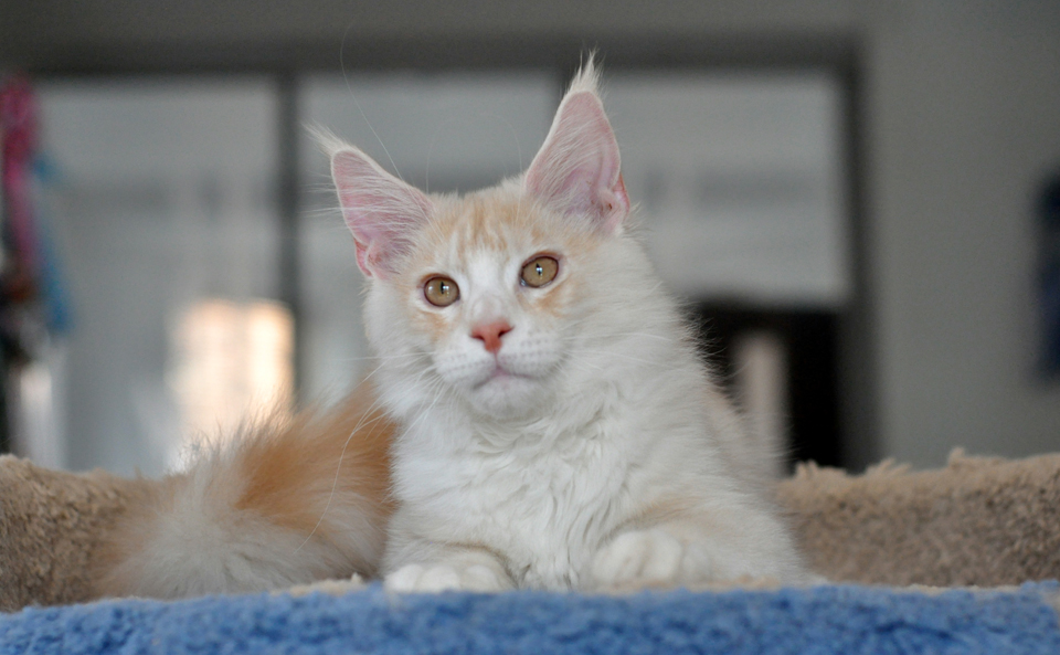 Kitten Maine Coon Sheikh from kennel Caramel