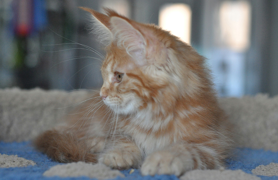 red marble girl Maine Coon, buy Maine Coon in the nursery