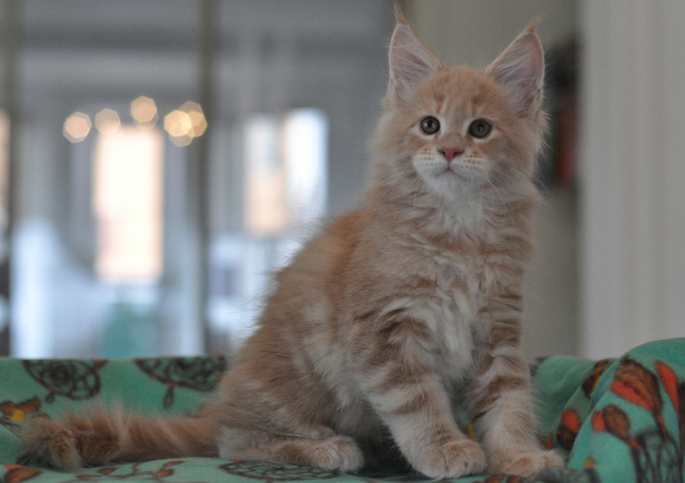 Perseus, Maine Coon kitten Caramel Kennel