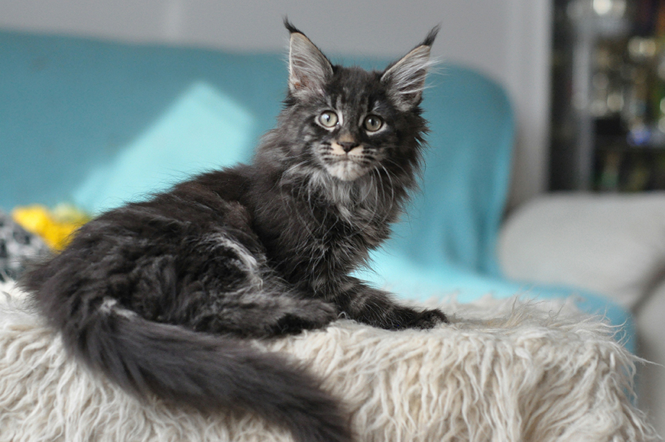 Caramel's Prima, black classic tabby , maine coon, female