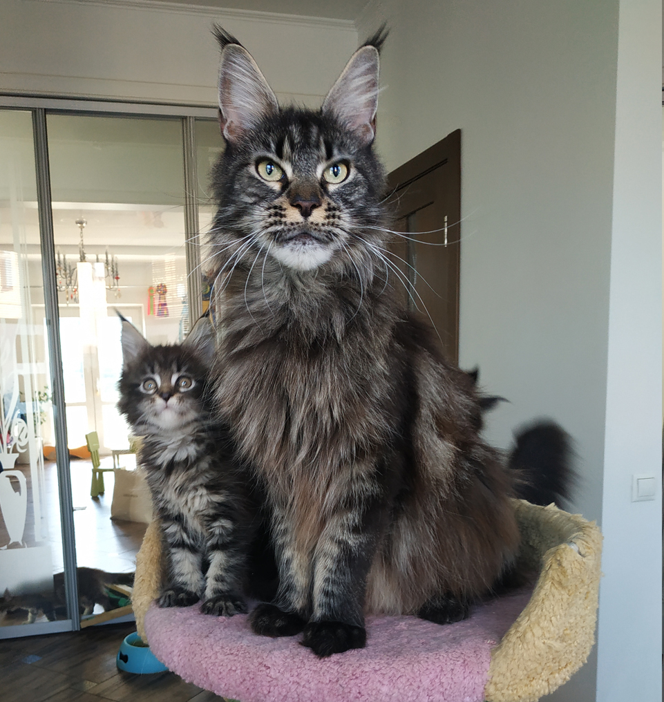 maine coon,color black  cl tabby,