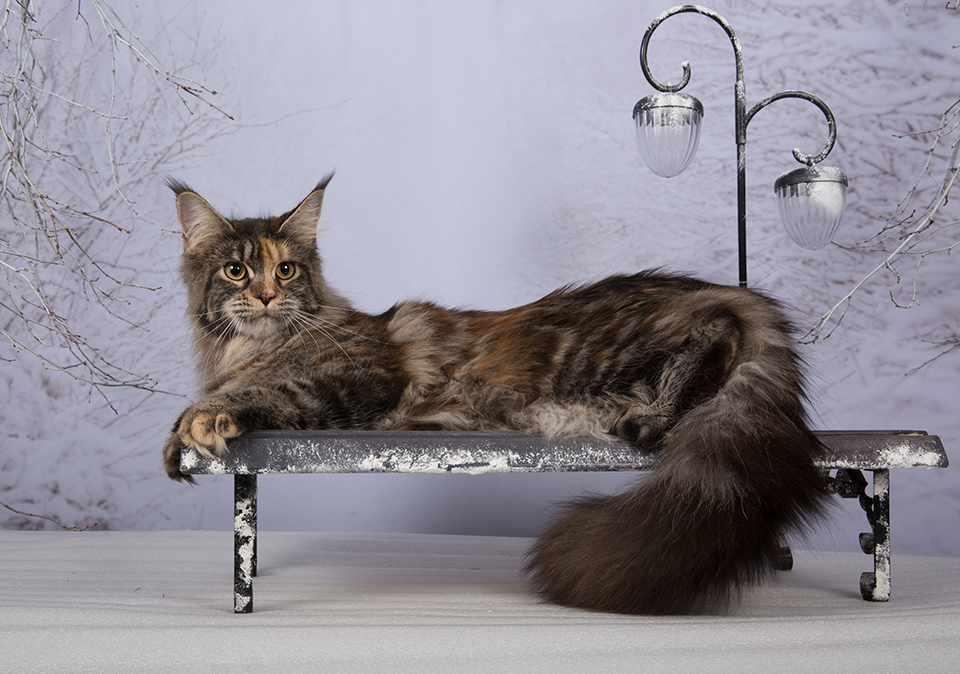 Caramel's Lavra, maine coon