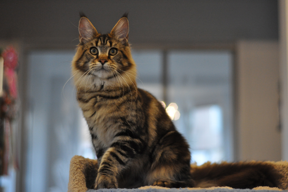 Nirvana, caramel's Nirvana, elegant cat Maine Coon wild color