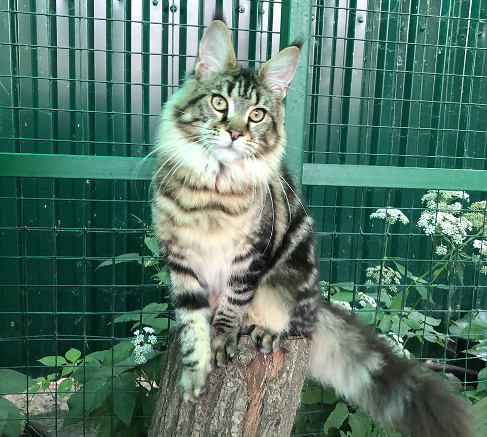 mainecoon female