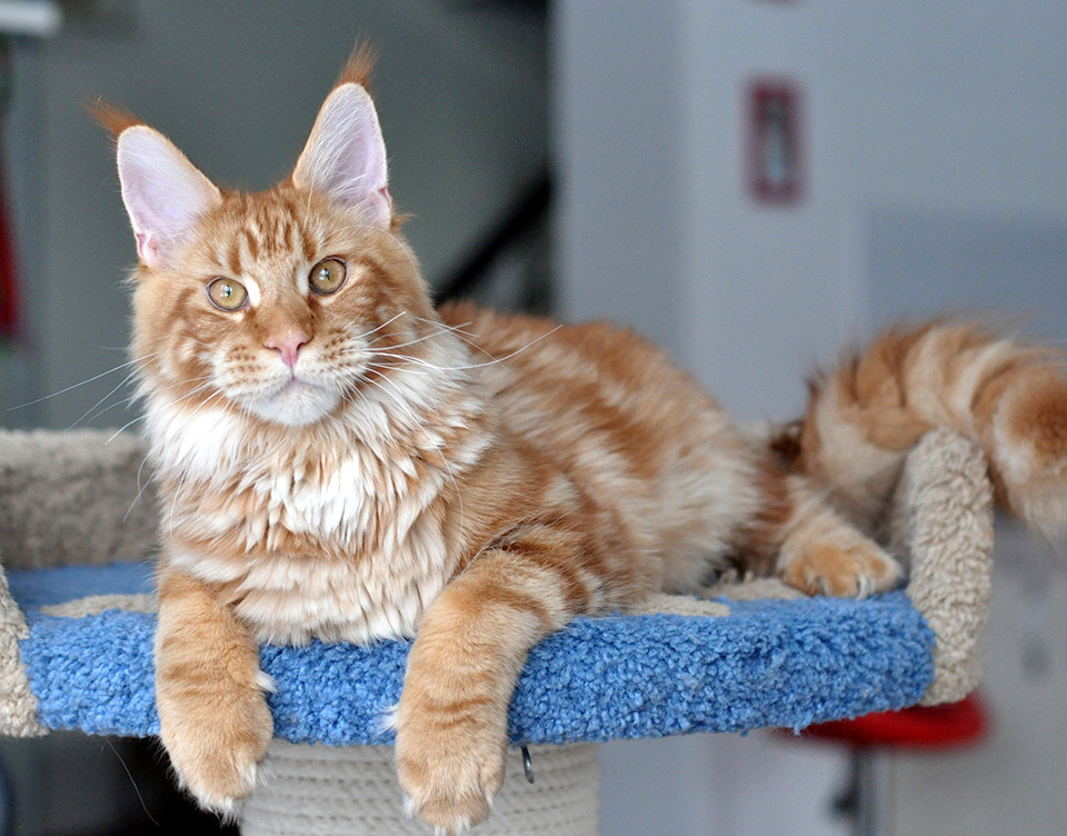 Hunter of Сhocolate, maine coon